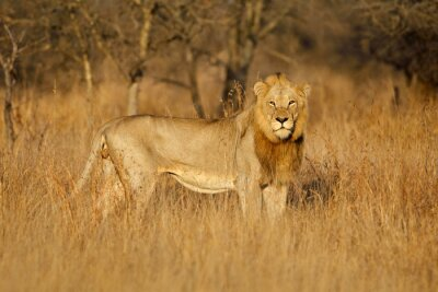 Big male African lion (Panthera leo) in natural habitat, Kruger National Park, South Africa.