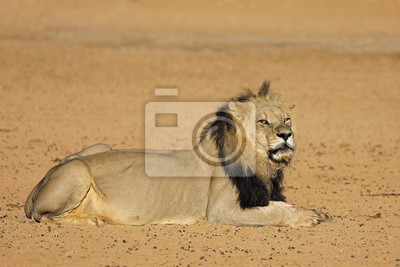 Big male African lion (Panthera leo), Kalahari desert, South Africa.