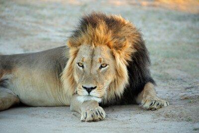 Canvas print Big male African lion (Panthera leo) resting in early morning light, Kalahari desert, South Africa.