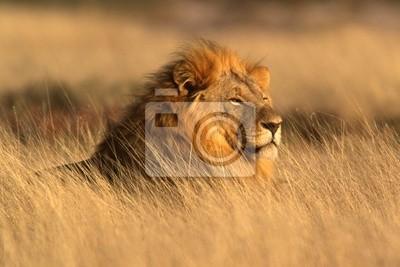 Canvas print big male lion