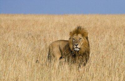 Canvas print Big male lion in the savanna. National Park. Kenya. Tanzania. Maasai Mara. Serengeti. An excellent illustration.