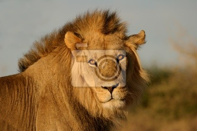 Big male lion, Kalahari desert, South Africa