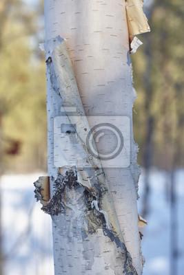 Canvas print birch bark close up