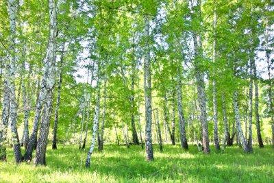 Canvas print birch forest