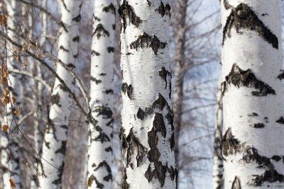 Canvas print birch trunk in nature