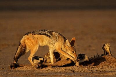 Black-backed jackals (Canis mesomelas) scavenging the remains of an antelope, Kalahari, South Africa.