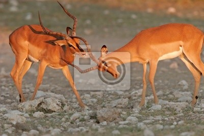 Canvas print black-faced impalas