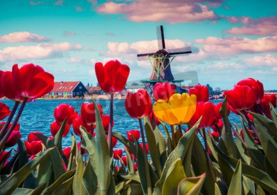 Canvas print Blossom tulips in the Dutch village with famous windmills. Spring sunny morning on the Netherlands canals. Instagram toning.