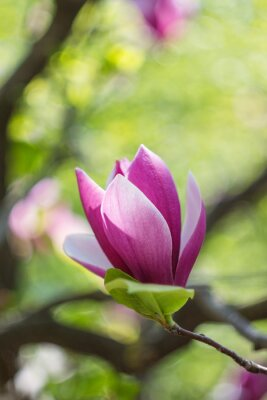 Canvas print Blossoming of pink magnolia flowers in spring time