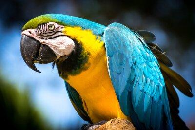 Canvas print Blue-and-yellow macaw (Ara-ararauna)