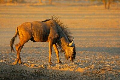 Blue wildebeest (Connochaetes taurinus) in the arid Kalahari desert, South Africa.
