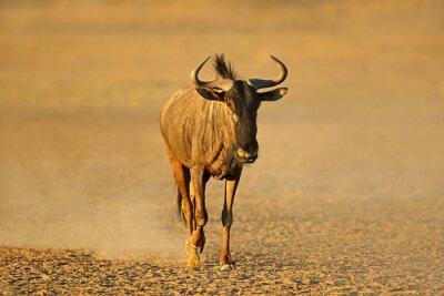 Blue wildebeest (Connochaetes taurinus) walking in dust, Kalahari desert, South Africa.