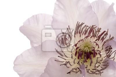 Blüte (Clematis)