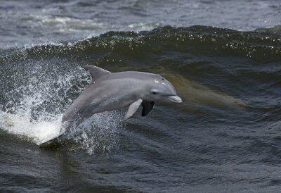 Canvas print Bottlenose Dolphin (Tursiops truncates)