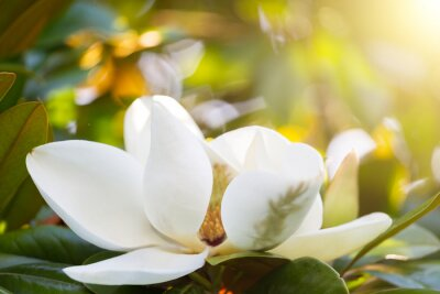 Canvas print Branch with a flower of a white magnolia close up