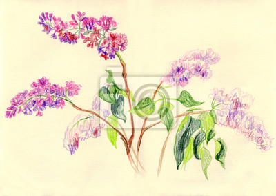 Canvas print Branches of lilac blossoms. Drawing with colored pencils