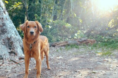 Canvas print Bright Red Orange Golden Retriever Irish Setter in Front of Majestic Forest Sunset