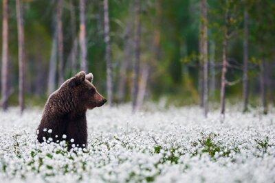 Canvas print Brown bear between cotton grass