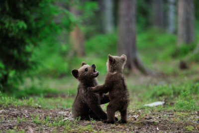 Canvas print Brown bear cubs playing in the forest