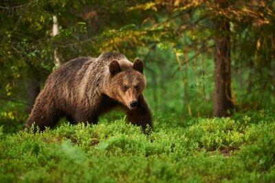 Canvas print Brown bear in the forest