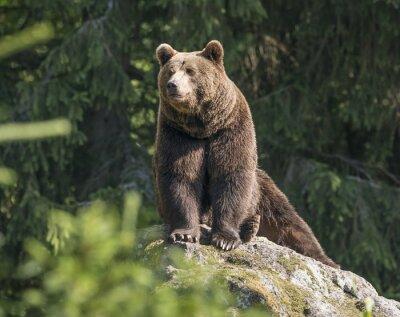 Canvas print brown bear male
