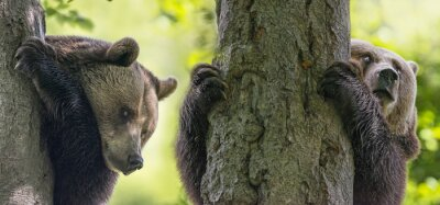 Canvas print brown bears on a trees