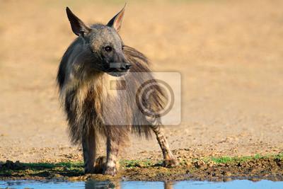 Brown hyena drinking water, Kalahari desert
