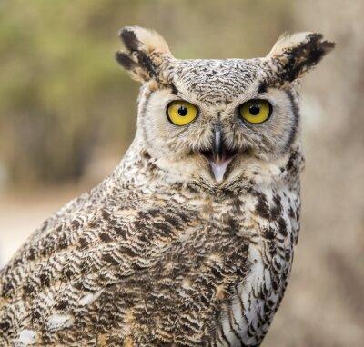 Canvas print Bubo virginianus virginianus - Owl