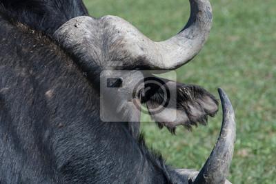 buffalo head and horns