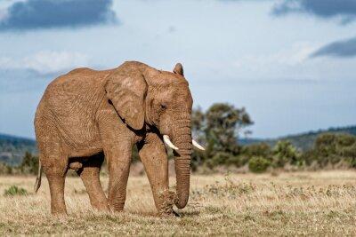 Canvas print Bull Elephant