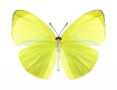 Canvas print Butterfly Gandaca harina (male) (underside)