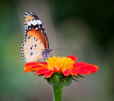 Canvas print Butterfly on a flower