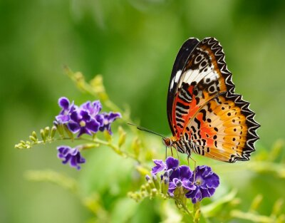 Canvas print Butterfly on a violet flower