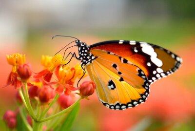 Canvas print Butterfly on orange flower in the garden