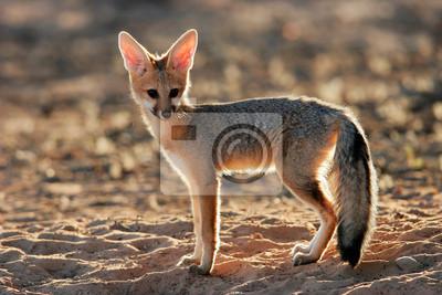 Cape fox (Vulpes chama), Kalahari desert, South Africa