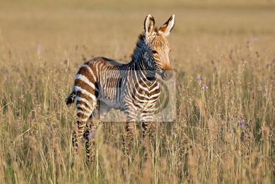 Cape mountain zebra (Equus zebra) foal, Mountain Zebra National Park, South Africa.