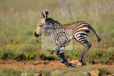 Canvas print Cape mountain zebra (Equus zebra) foal running, Mountain Zebra National Park, South Africa.