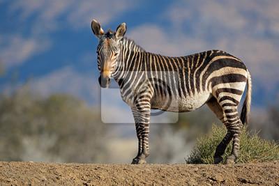 Cape mountain zebra (Equus zebra) in natural habitat, Mountain Zebra National Park, South Africa.