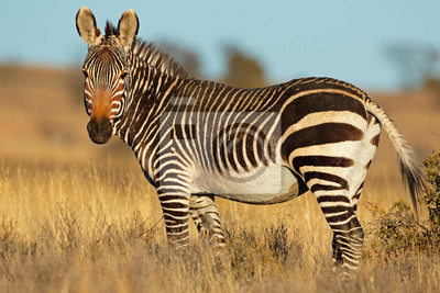 Canvas print Cape mountain zebra (Equus zebra) in natural habitat, Mountain Zebra National Park, South Africa.