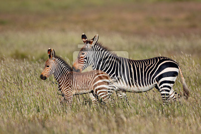 Cape mountain zebra (Equus zebra) mare with foal, Mountain Zebra National Park, South Africa.