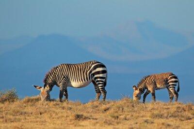 Cape mountain zebra (Equus zebra) mare with foal, Mountain Zebra National Park, South Africa..