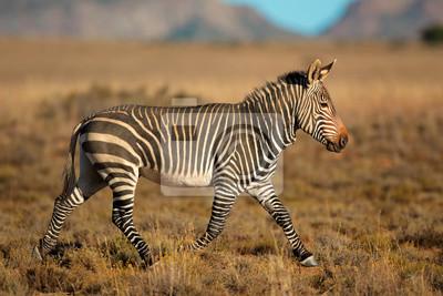 Cape mountain zebra (Equus zebra), Mountain Zebra National Park, South Africa.