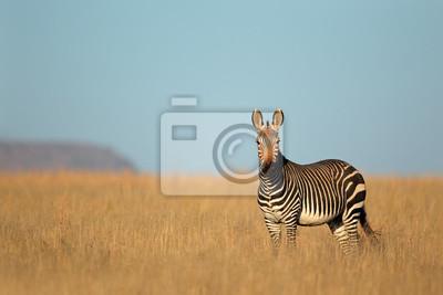 Cape Mountain Zebra, Mountain Zebra National Park