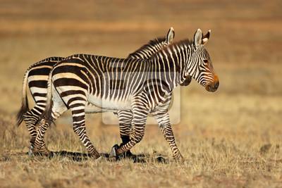 Cape mountain zebras (Equus zebra) in natural habitat, Mountain Zebra National Park, South Africa.