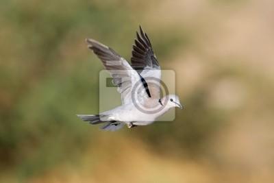Cape turtle dove (Streptopelia capicola ), South Africa