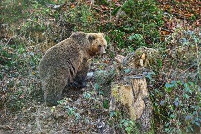 Canvas print Carpathian Brown Bear
