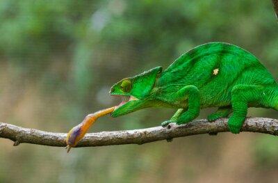 Canvas print Chameleon at hunt insect. Long tongue chameleon. Madagascar. An excellent illustration. Close-up.