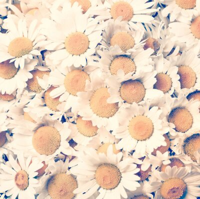 Canvas print chamomiles flowers - vintage style