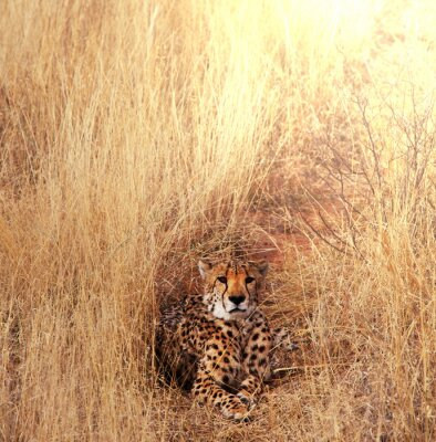Canvas print Cheetah