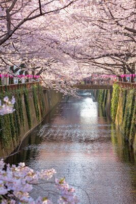 Canvas print Cherry blossom lined Meguro Canal in Tokyo, Japan.
